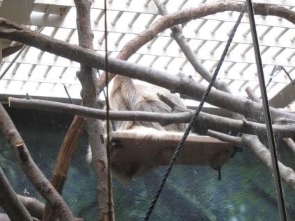Two-Toed Sloth_Philadelphia Zoo