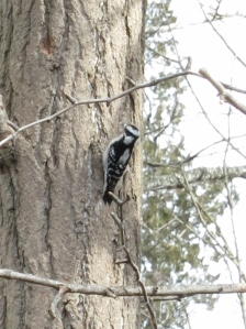 A Woodpecker (not a chickadee, of course!).