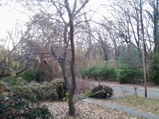 Magnolia in November