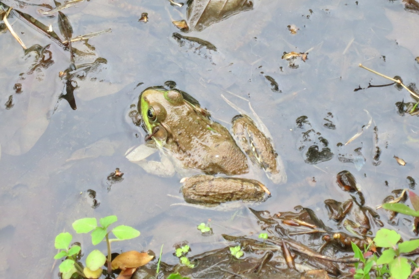 A frog my daughters found at Bowman's Hill Wildflower Preserve last week