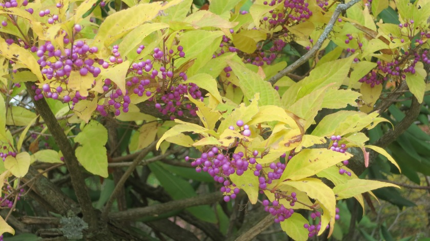 Misfortune of knowing blog_Callicarpa