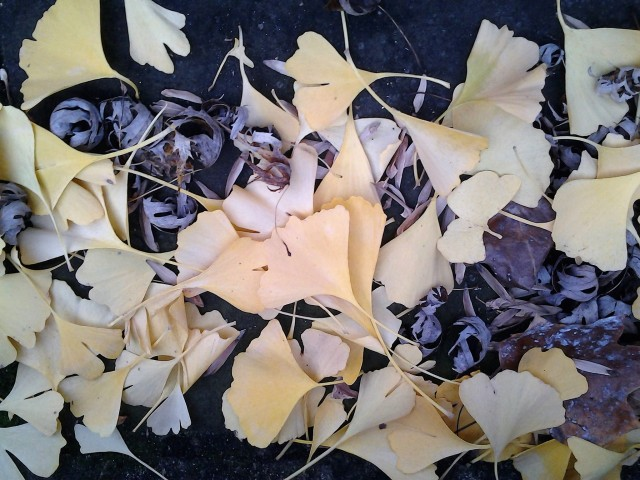 ginkgo-leaves-fall-2016